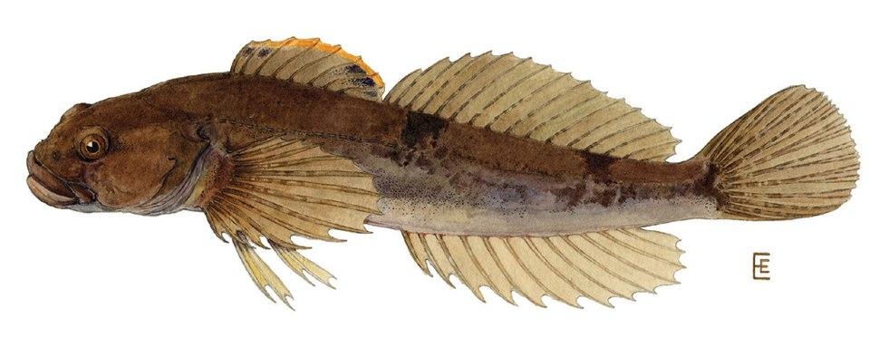 Cottus cognatus