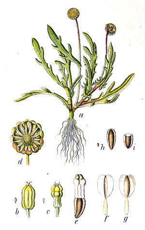 Cotula coronopifolia - Image: Cotula coronopifolia Sturm 37