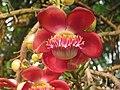Couroupita guianensis - Cannon Ball Tree at Peravoor (59).jpg