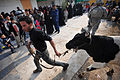 Cow donation in Baghdad DVIDS138419.jpg