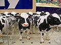 Cows (3971440571).jpg