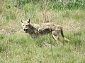 Coyote Eating a Vole, Photo 1 of 2 (42045740222).jpg