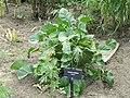 Crambe cordifolia - Denver Botanic Gardens - DSC00884.JPG