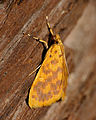Crambid Moth (Pioneabathra olesialis) (16723673852).jpg