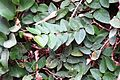 Creeping Fig Ficus pumila.JPG
