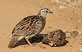 Crested Francolin, Dendroperdix sephaena, feeding in dung at Pilanesberg National Park, Northwest Province, South Africa (29232286414).jpg