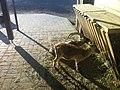 Cretan wild goat (Capra hircus cretica) at the Tallinn Zoo.jpeg