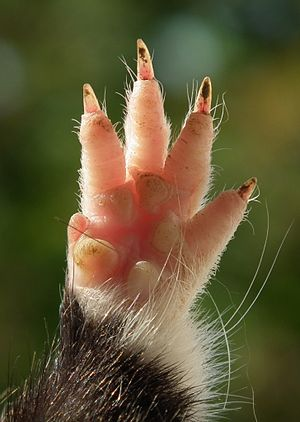 Manus (anatomy) - Manus of a rodent, Eurasian hamster Cricetus cricetus