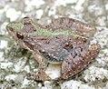 Cricket frog3.JPG