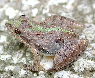 Southern cricket frog - Image: Cricket frog 3