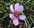Crocus sativus 1.JPG