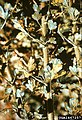 Cronartium ribicola Ribes (05).jpg