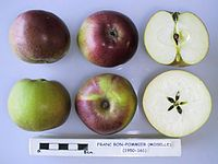 Cross section of Franc-Bon-Pommier (Moselle), National Fruit Collection (acc. 1950-161).jpg