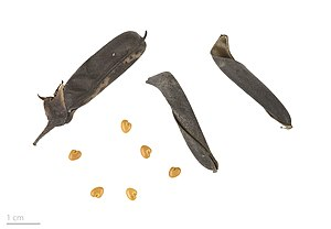 Crotalaria retusa - Crotalaria retusa - MHNT