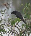 Crotophaga ani - Flickr - Dick Culbert (1).jpg