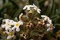 Cryptantha cinerea - Flickr - aspidoscelis (3).jpg