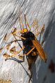 Cryptocheilus bicolor - Sydney 10.jpg