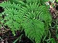 Ctenitis latifrons (4755944761).jpg