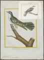 Cuculus cupreus - 1700-1880 - Print - Iconographia Zoologica - Special Collections University of Amsterdam - UBA01 IZ18800243.tif