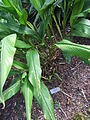 Curcuma cordata leaves.jpg