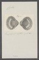 Cyclas spec. - - Print - Iconographia Zoologica - Special Collections University of Amsterdam - UBAINV0274 078 06 0006.tif