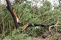 Cyclone Marcus in Darwin – Snapped tree in Stuart Park 01.jpg