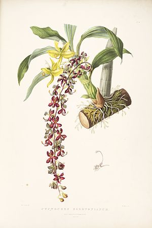 James Bateman - Drawing of Cycnoches egertonianum from Orchidaceae of Mexico and Guatemala, 1845
