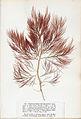 Cystoclonium purpureum Crouan.jpg
