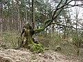 Dąb Wolinian 3 - panoramio.jpg