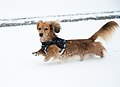 Dachshund in snow.jpg