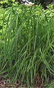 Dactylis glomerata Kropaar plant.jpg