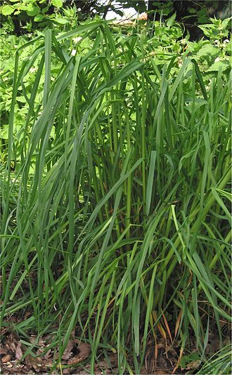 Dactylis glomerata - Image: Dactylis glomerata Kropaar plant
