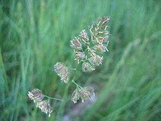 Dactylis glomerata - Flower head