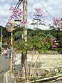 Dahlia imperialis near Daikozenji Temple.jpg