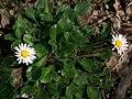 Daisy (Bellis perennis) (4518731937).jpg