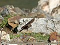 Dark-sided Flycatcher (Muscicapa sibirica) (15274196054).jpg