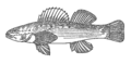 Darter (PSF).png