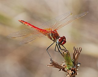 <i>Sympetrum</i> genus of insects
