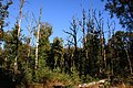Dead trees at NP Hoge Veluwe at a bright 2 October 2015. The walking route crosses just this terrain. Magnificent - panoramio.jpg