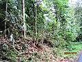 Deep Evergreen Vazhachal Reserve Forest - panoramio (1).jpg