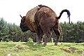 Defecating bison.jpg