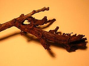 Taphrina pruni - Deformed Blackthorn twig.