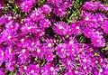 Delosperma pink Ice Plant.jpg
