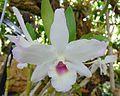Dendrobium Crystal Pink, Phipps.jpg