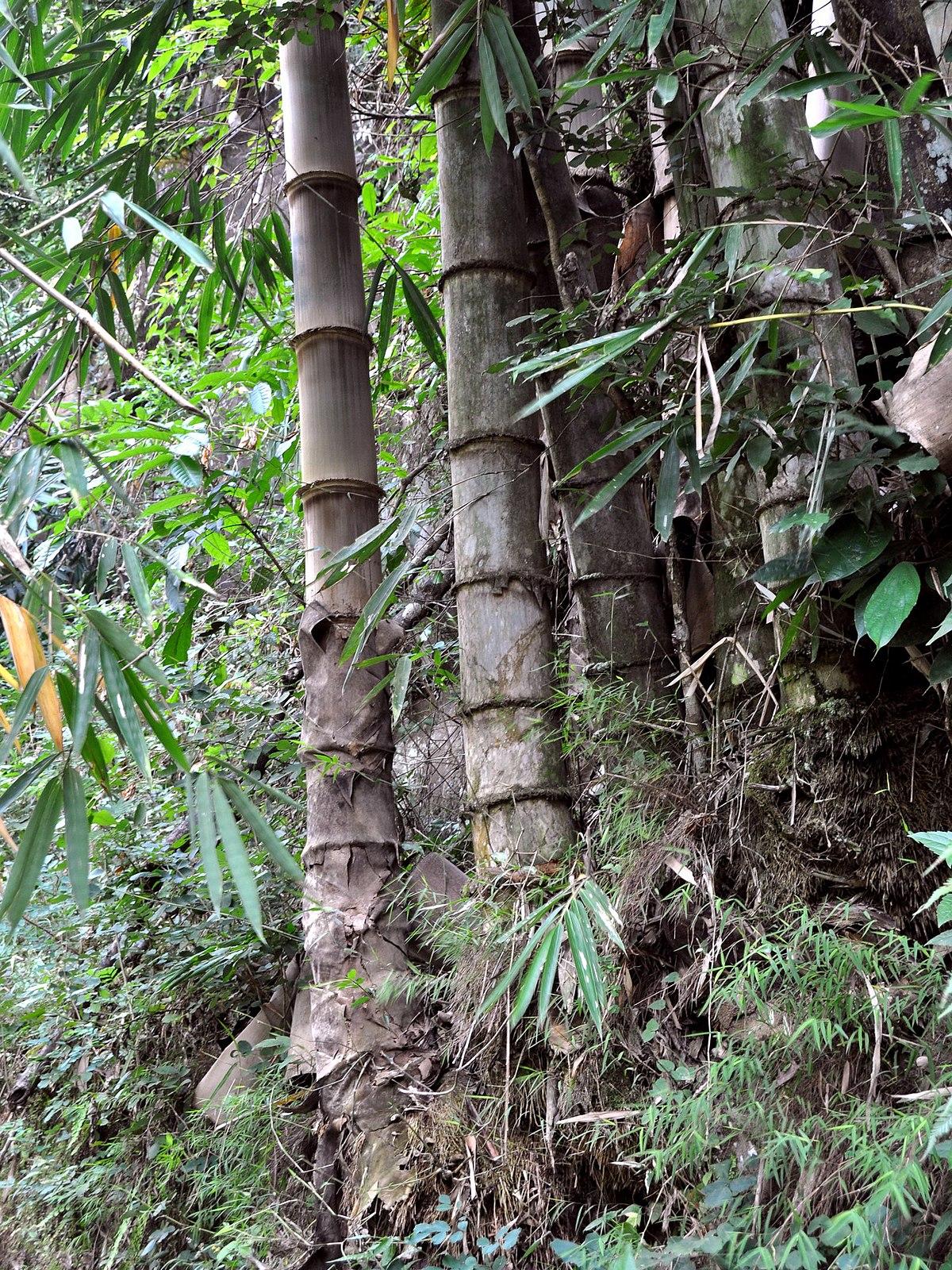 Bambu Betung Wikipedia Bahasa Indonesia Ensiklopedia Bebas