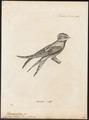 Dendrochelidon comata - 1700-1880 - Print - Iconographia Zoologica - Special Collections University of Amsterdam - UBA01 IZ16700105.tif