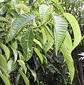 Dendrocnide stimulans (Urticaceae) (8169458545).jpg