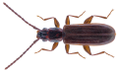Dendrophagus crenatus (Paykull, 1799).png