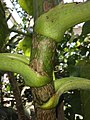 Dendroseris litoralis petiole attachment Kew.jpg