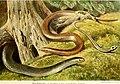 Die Reptilien und Amphibien mitteleuropas (1912) (20932709102).jpg